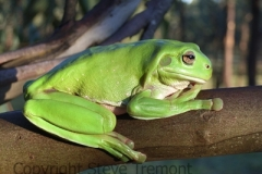 Litoria-caerulea-Green-Tree-Frog-250-Pine-Forest-Road-Armidale-NSW-2-3-2007-SMT1