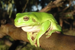 Litoria-caerulea-Green-Tree-Frog-250-Pine-Forest-Road-Armidale-NSW-2-3-2007-SMT5