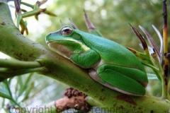 Litoria-fallax-Dwarf-Green-Tree-Frog-250-Pine-Forest-Road-Armidale-NSW-29-10-2006-SMT-2