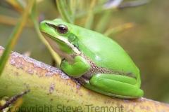 Litoria-fallax-Dwarf-Green-Tree-Frog-250-Pine-Forest-Road-Armidale-NSW-5-11-2006-SMT-1