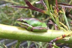 Litoria-fallax-Dwarf-Green-Tree-Frog-250-Pine-Forest-Road-Armidale-NSW-5-11-2006-SMT-3