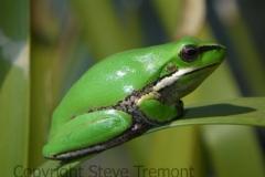 Litoria-fallax-Eastern-Dwarf-Tree-Frog-250-Pine-Forest-Road-Armidale-NSW-26-9-2010-SMT-3