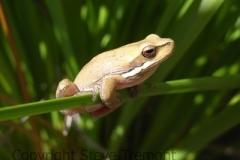 Litoria-fallax-Eastern-Dwarf-Tree-Frog-250-Pine-Forest-Road-Armidale-NSW-9-9-2007-SMT-3