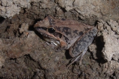 Litoria-latopalmata-Broad-palmed-Frog-250-Pine-Forest-Road-Armidale-NSW-1-12-2006-SMT-2