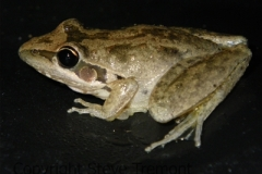Litoria-latopalmata-Broad-palmed-Frog-250-Pine-Forest-Road-Armidale-NSW-15-4-2010-SMT-2