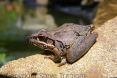 Litoria-latopalmata-Broad-palmed-Frog-250-Pine-Forest-Road-Armidale-NSW-27-11-2011-SMT-1