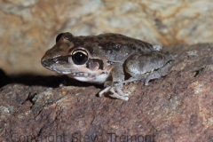 Litoria-latopalmata-Broad-palmed-Frog-250-Pine-Forest-Road-Armidale-NSW-5-11-2006-SMT-2