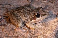 Litoria-latopalmata-Broad-palmed-Frog-Flowerdale-via-Armidale-NSW-7-3-2007-SMT-3