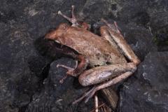 Litoria-lesueurii-Lesueurs-Frog-Chandler-Falls-NSW-16-12-2006-SMT-2