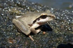 Litoria-lesueurii-Lesueurs-Frog-Gwydir-River-via-Bingara-NSW-9-11-2008-SMT-1