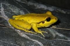 Litoria-lesueurii-Lesueurs-Frog-Rowleys-Creek-via-Walcha-NSW-13-12-2008-SMT-2