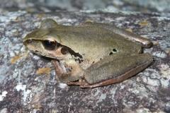 Litoria-lesueurii-Lesueurs-Frog-Slaughterhouse-Gully-via-Hillgrove-NSW-21-2-2010-SMT-4