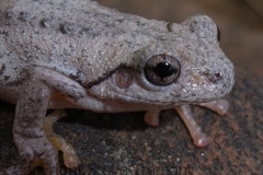 Litoria-peroni-Perons-Tree-Frog-250-Pine-Forest-Road-Armidale-NSW-1-7-2006-SMT-2
