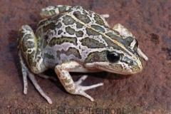 Lymnodynastes-tasmaniensis-Spotted-Grass-Frog-250-Pine-Forest-Road-Armidale-NSW-9-6-2008-SMT-3