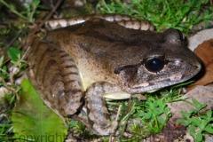 Mixophyes-balbus-Stuttering-Frog-Mt-Hyland-Forest-Lodge-NSW-29-11-2008-SMT-5
