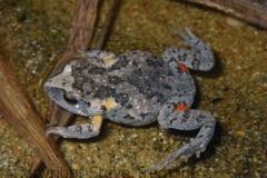 Uperoleia-laevigata-Smooth-Toadlet-250-Pine-Forest-Road-Armidale-NSW-27-8-2010-SMT-7