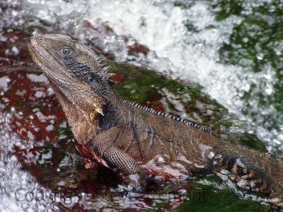 Eastern-Water-Dragon-Physignathus-lesueurii-Inaccessible-Gulf-Chandler-River-NSW-16-12-2006-SMT