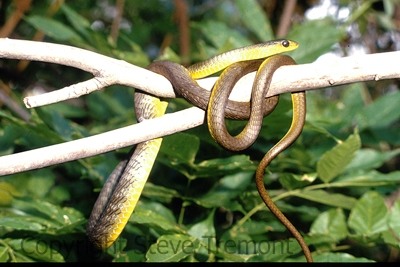 Green-Tree-Snake-Dendrelaphis-punctulata-Fishermans-Point-Hawksbury-River-NSW-8-10-1981-SMT-1