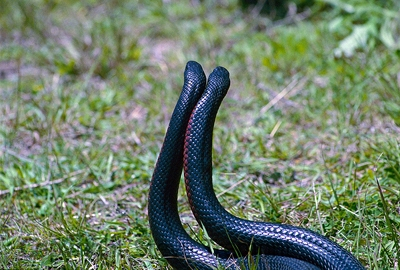 Red-bellied-Black-Snake-Pseudechis-porphyriacus-male-ritual-combat-Tatibah-via-Armidale-NSW-21-10-2011-SMT-1
