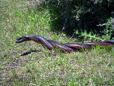 Red-bellied-Black-Snake-Pseudechis-porphyriacus-male-ritual-combat-Tatibah-via-Armidale-NSW-21-10-2011-SMT-2