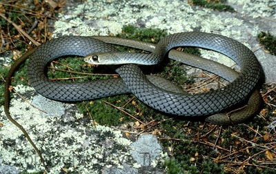 Yellow-faced-Whipsnake-Demansia-psammophis-Fishermans-Point-Hawksbury-River-NSW-28-11-1980-SMT