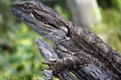 Bearded-Dragon-Pogona-barbata-Dangars-Falls-via-Armidale-NSW-16-03-2011-SMT-1
