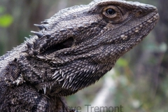 Bearded-Dragon-Pogona-barbata-Goonoowigall-SCA-via-Inverell-NSW-4-12-2008-SMT