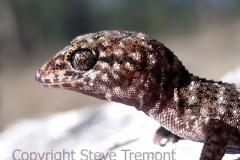 Bynoes-Gecko-Heteronotia-binoei-Warialda-Creek-NSW-15-June-2007-SMT-2