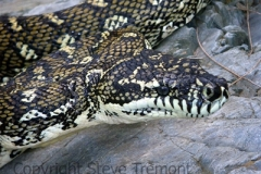 Carpet-Python-Morelia-spilota-Chandler-River-NSW-7-3-2010-SMT-1