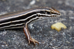 Copper-tailed-Skink-Ctenotus-taeniolatus-Mount-Stuart-Clarke-Broken-Rock-Range-Blue-Mountains-NSW-04-10-2011-SMT-2