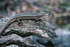 Ctenotus-robustus-Tatibah-via-Armidale-NSW-10-3-2007-SMT-2