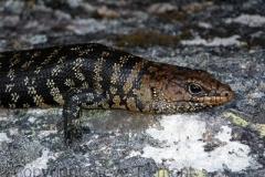 Cunninghams-Skink-Egernia-cunninghami-Anvil-Rock-Gibralter-Range-NP-NSW-24-10-2009-SMT-2