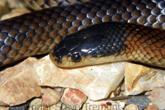 Dwyers-Black-headed-Snake-Suta-dwyeri-Tatibah-via-Armidale-NSW-10-2-2010-SMT-1