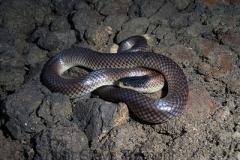 Dwyers-Black-headed-Snake-Suta-dwyeri-Tatibah-via-Armidale-NSW-23-12-2007-SMT