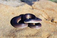Dwyers-Black-headed-Snake-Suta-dwyeri-Tatibah-via-Armidale-NSW-7-10-2006-SMT