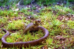 Eastern-Brown-Snake-Pseudonaja-textilis-Tatibah-21-12-2004-SMT-1