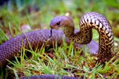 Eastern-Brown-Snake-Pseudonaja-textilis-Tatibah-21-12-2004-SMT-2