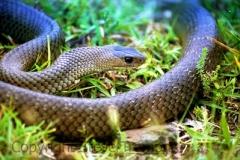 Eastern-Brown-Snake-Pseudonaja-textilis-Tatibah-21-12-2004-SMT-3