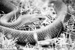 Eastern-Brown-Snake-Pseudonaja-textilis-Tatibah-21-12-2004-SMT-3bw