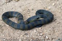 Eastern-Brown-Snake-Pseudonaja-textilis-juvenile-Mebbin-Springs-NSW-14-3-2008-SMT