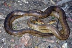 Eastern-Brown-Snakes-Pseudonaja-textilis-Tatibah-via-Armidale-NSW-24-10-2011-SMT