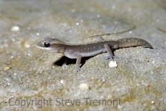 Eastern-Stone-Gecko-Diplodactylus-vittatus-Singletons-Mill-via-Wisemans-Ferry-NSW-7-11-1981-SMT