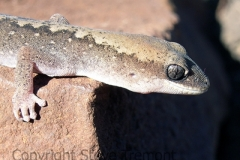 Eastern-Stone-Gecko-Diplodactylus-vittatus-Tatibah-via-Armidale-NSW-10-9-2007-SMT-4