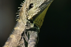 Eastern-Water-Dragon-Physignathus-lesueurii-Botanic-Gardens-ACT-29-12-2001-SMT-1