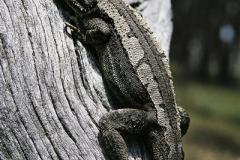 Jacky-Lizard-Amphibolurus-muricatus-Tatibah-via-Armidale-NSW-12-October-2003-SMT-2