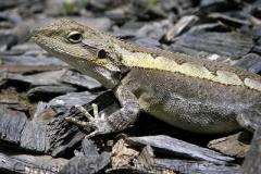 Jacky-Lizard-Amphibolurus-muricatus-Tatibah-via-Armidale-NSW-30-10-2009-SMT-3
