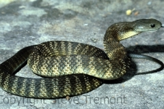 Mainland-Tiger-Snake-Notechis-scutatus-The-Icicles-Hawksbury-River-NSW-28-11-1980-SMT