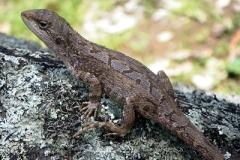 Nobbi-Dragon-Amphibolurus-nobbi-Burra-Bee-Dee-via-Coonabarabran-NSW-19-11-2010-SMT-2