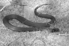 Red-bellied-Black-Snake-Pseudechis-porphyriacus-Winter-Station-Creek-via-Tenterden-NSW-2-10-2007-SMT-1-bw