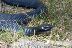 Red-bellied-Black-Snake-Pseudechis-porphyriacus-Winter-Station-Creek-via-Tenterden-NSW-2-10-2007-SMT-2